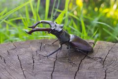 Stag beetle close-up on a wooden background Royalty Free Stock Images