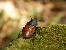 Stag beetle. A stag beetle crawled the rock Royalty Free Stock Photography