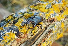 Stag beetle crawling. On the trunk of a tree covered with moss Royalty Free Stock Photo