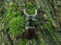 Stag-beetle Royalty Free Stock Image