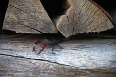Stag beetle, creeping out of its hideout Stock Photo