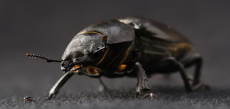 The Stag beetle Royalty Free Stock Photography