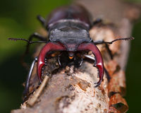 Stag beetle en face Royalty Free Stock Images