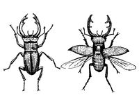 Stag beetle engraved vintage hand drawn in scratchboard style Royalty Free Stock Images