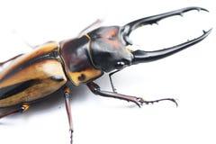 Stag-beetle eye(Prosopocoilus fabricei takakuwai ) Royalty Free Stock Image