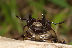 Stag beetle face Stock Photo
