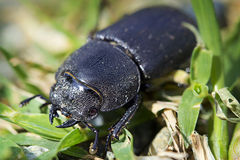 Stag beetle female stock image