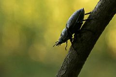Stag beetle female. On the branch Stock Photos