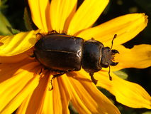 Stag beetle female , Lucanus cervus , Big bug Stock Photography
