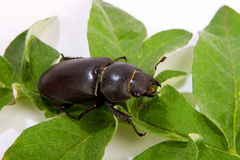 Stag beetle female (Lucanus cervus) Royalty Free Stock Photography
