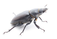 Stag Beetle Royalty Free Stock Image