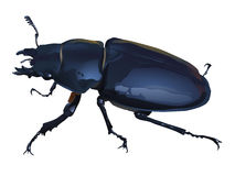 Stag beetle. Female stag beetle. This species (Lucanus Cervus) is most common in Europe. Vector Illustration Royalty Free Stock Images