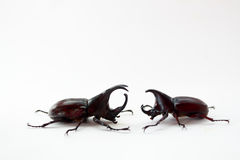 Stag beetle fight Stock Photos