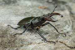Stag beetle in the forest stock images