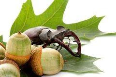 Stag beetle on green leaf Stock Photo