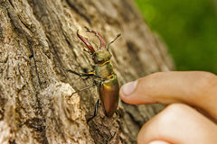 Stag-beetle and a hand. Stag-beetle on bark of a tree and a hand of the person who touches him Royalty Free Stock Images