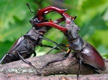 Stag beetle on the hand. close up. stock photography