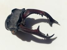 Stag beetle head close up Stock Photos