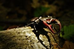 Stag-beetle in the hungarian woods royalty free stock images