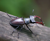Stag-beetle. Royalty Free Stock Image