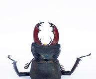 Stag beetle isolated on white Stock Images