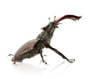 Stag beetle isolated on the white background Royalty Free Stock Photography