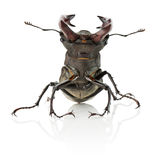 Stag beetle isolated on the white background Stock Photography