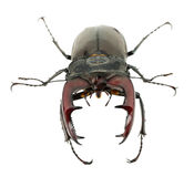 Stag beetle isolated on the white background Stock Photo
