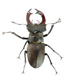 Stag beetle isolated on the white background Stock Image