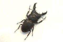 Stag beetle isolated Royalty Free Stock Image