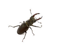 Stag beetle isolated Stock Photo
