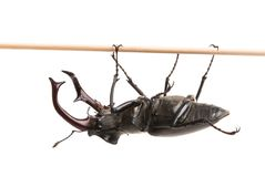Stag beetle isolated. On white background Royalty Free Stock Photo