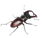 Stag beetle isolated on white Stock Photo
