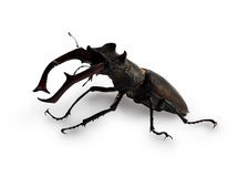 Stag beetle. Isolatet on white background royalty free stock images