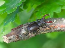 Stag beetle. Large stag beetle climbs a tree. Ukraine Royalty Free Stock Photography
