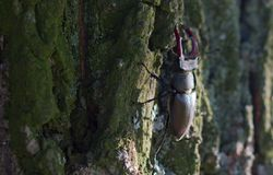 Stag beetle. Large stag beetle climbs a tree. Ukraine Stock Photo