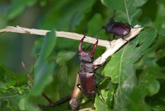 Stag beetle. Large stag beetle climbs a tree. Ukraine Stock Photos