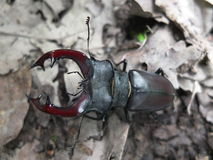 Stag beetle. Stag beetle on a leaf in the forest Stock Photos