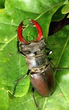 Stag-beetle on leaf Royalty Free Stock Image