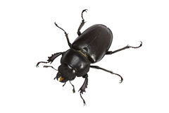 Stag beetle (Lucanidae Latreille) female Stock Photography