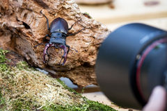 Stag beetle (Lucanus beetle). Photographing a stag-beetle Lucanus cervus Royalty Free Stock Images