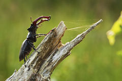 Stag beetle (Lucanus cervus). Macro photo Stock Photo