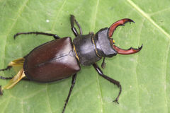 Stag beetle / Lucanus cervus. A male of stag beetle on a green leaf Stock Photo