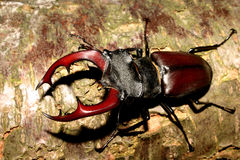 Stag beetle (Lucanus cervus). Male on a tree trunk Royalty Free Stock Photography