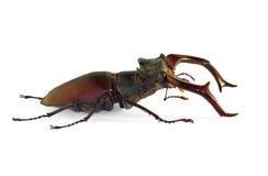 Stag beetle Lucanus cervus Stock Photography