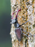 Stag beetle (Lucanus cervus) Stock Photos