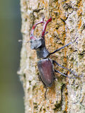 Stag beetle (Lucanus cervus) Stock Photo