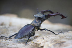 Stag beetle. ( Lucanus cervus) - insect photography Stock Photos