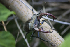 Stag beetle. ( Lucanus cervus) - insect photography Royalty Free Stock Photo