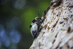 Stag beetle. ( Lucanus cervus) - insect photography Stock Photography